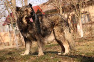 Caucasian Shepherd Female