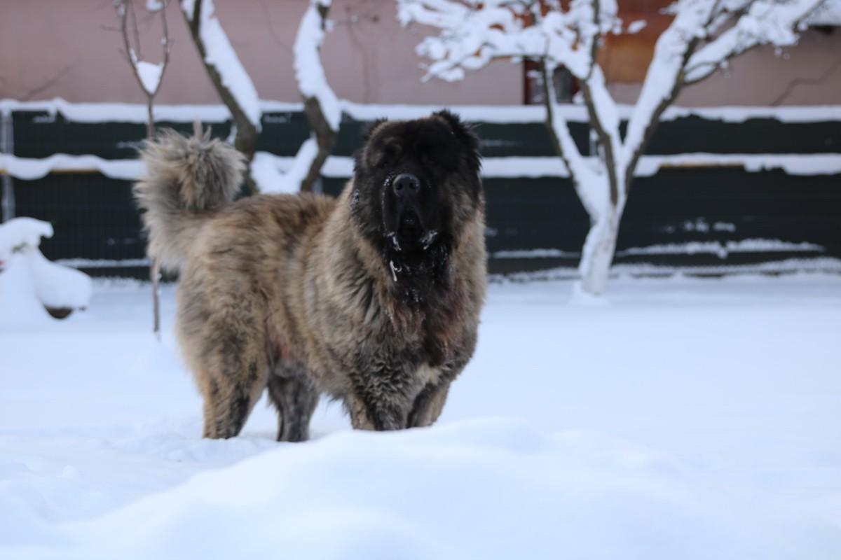 Caucasian Dog