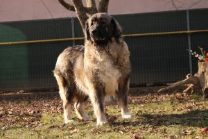Caucasian Shepherd Female Dog