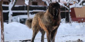 Portos Caucasian Dog