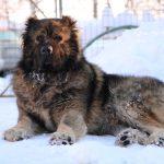 Caucasian Shepherd Titan