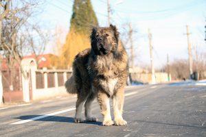 Titan Caucasian Shepherd Dog