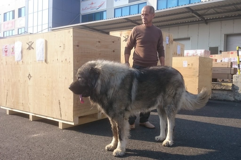 The biggest Caucasian Shepherd