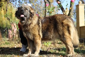 Caucasian Shepherd Dog from Romania