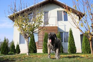 Caucasian Shepherd Female Guarding her house