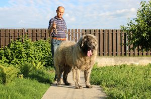 Caucasian Shepherd Female Titans Family Kennel