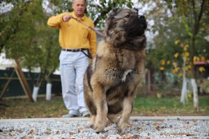 Furious-caucasian-shepherd