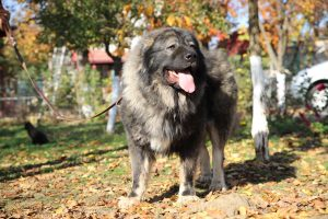 Caucasian Shepherd Autumn