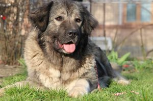 Caucasian Shepherd Female Eastern Europe