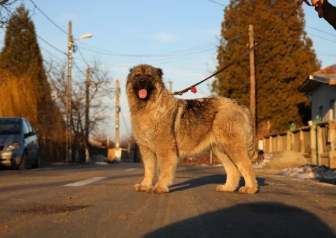 Caucasian Shepherd champion female
