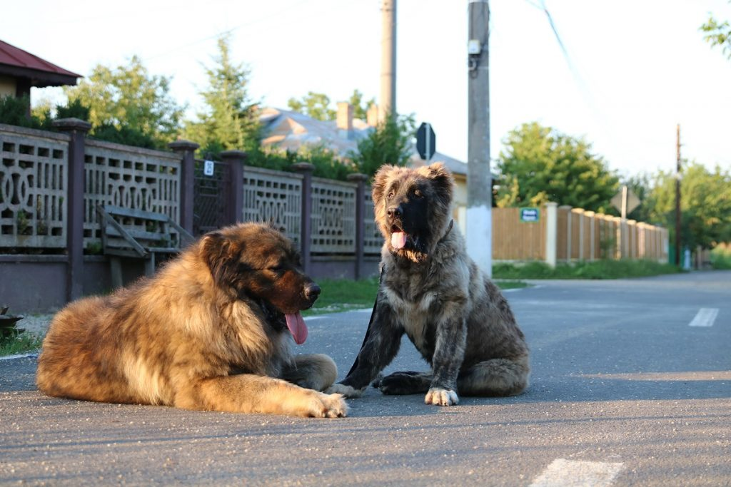 Shedding with a Caucasian Shepherd
