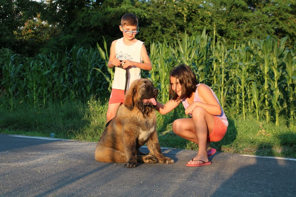 socializing Caucasian Shepherd