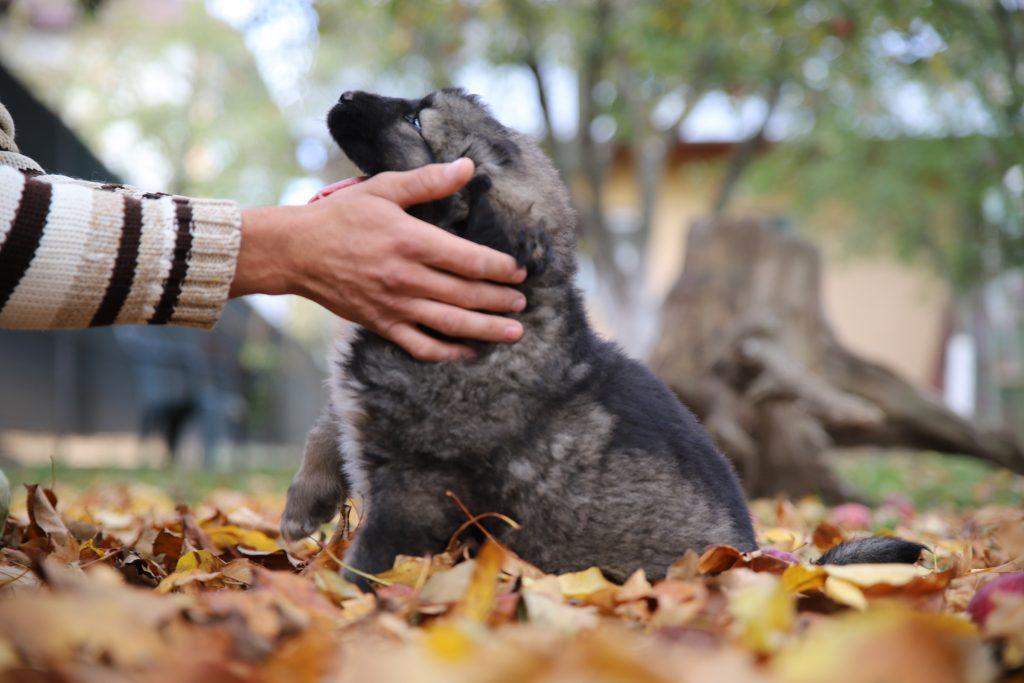 Buy-a-Caucasian-Shepherd-Puppy