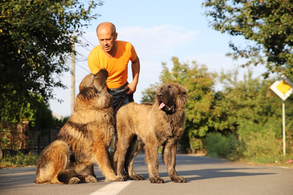 Caucasian Shepherds Family Members