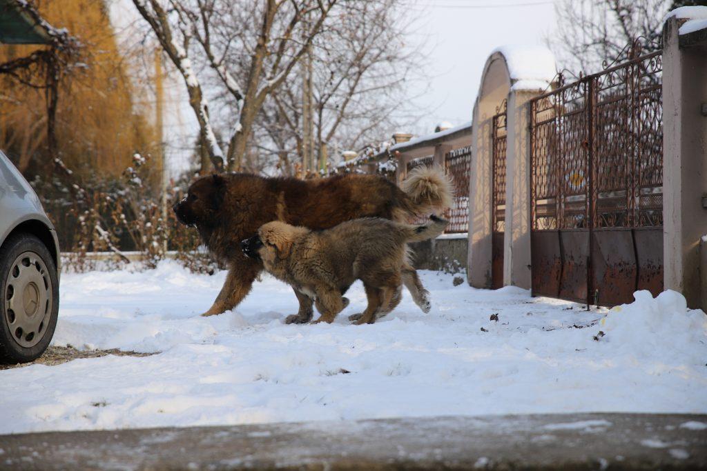 Caucasian Shepherds Guard Dogs