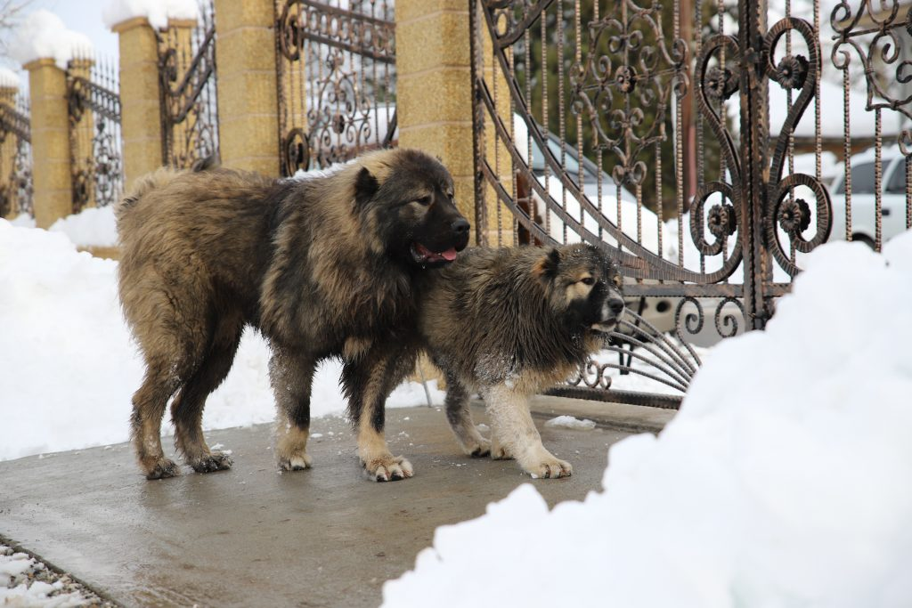 Guard Dog Caucasian Shepherd